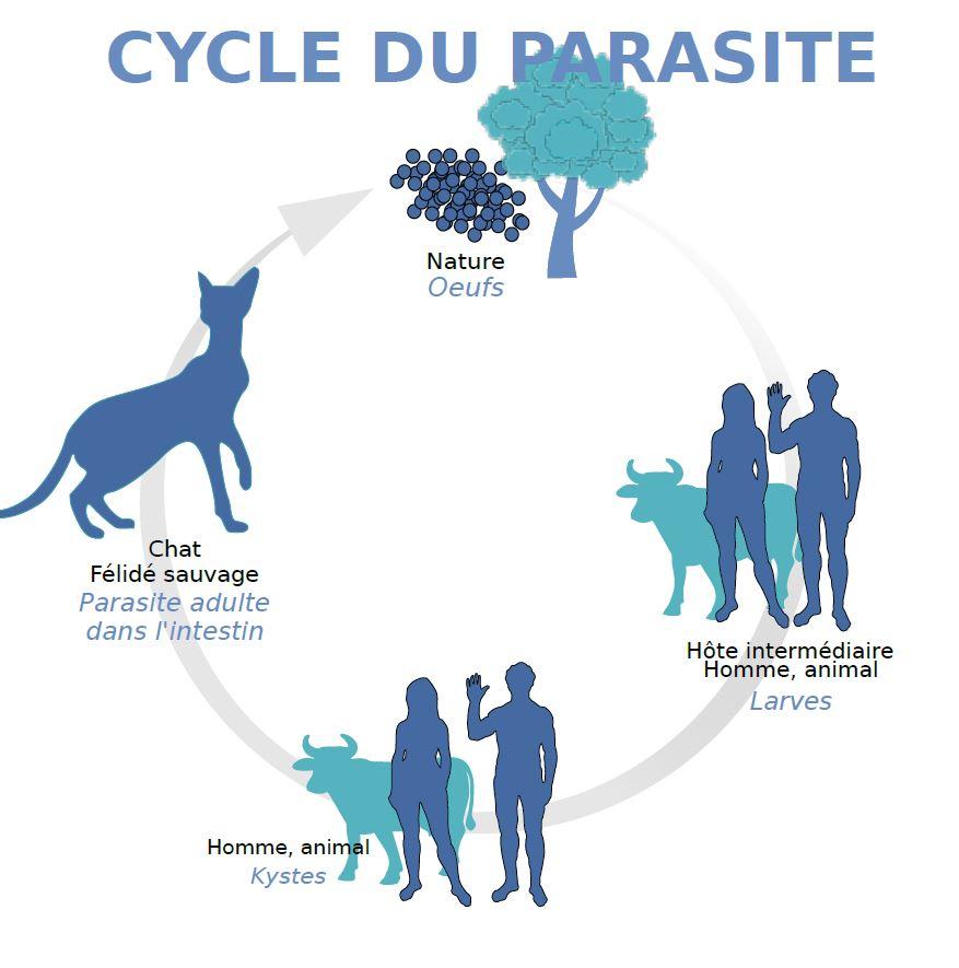 Cycle du toxoplasme