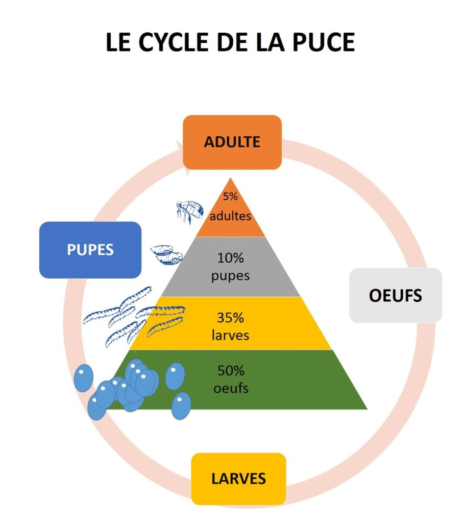 Cycle de la puce