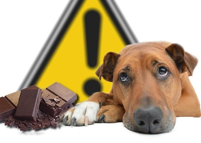 Le chocolat dangereux pour les chiens et les chats