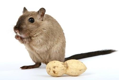 Rat qui mange une cacahuète