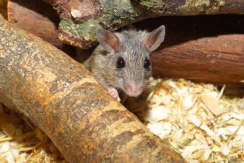 Rat dans une cage enrichie