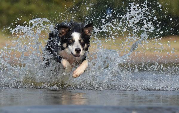 Chien qui court dans l'eau