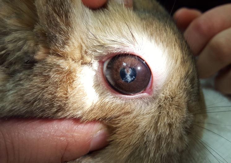 Oeil-de-lapin-infesté-par-Encephalitozoon-cuniculi