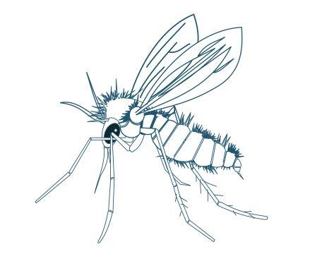 Phlébotome dessin