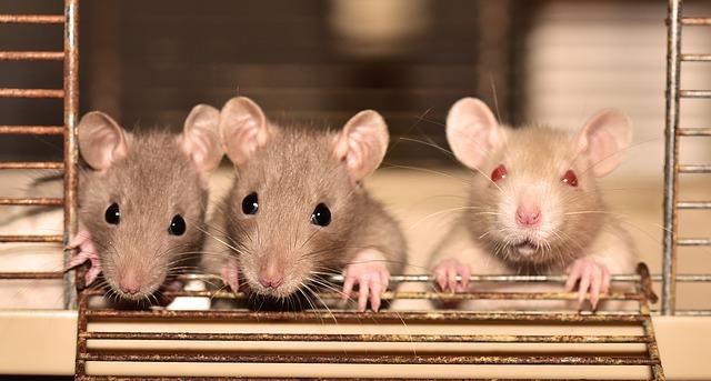 Rats en cage