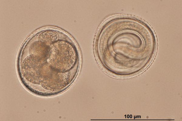 Toxocara embryons