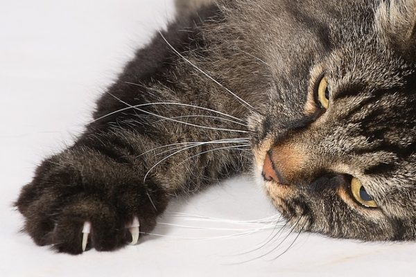 Griffes du chat