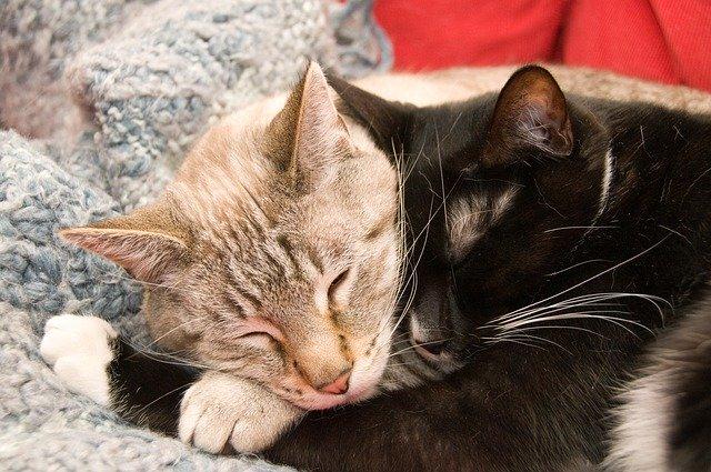 Chats qui dorment