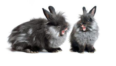 Comportement du lapin
