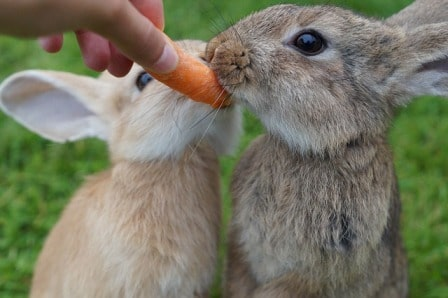 Alimentation lapins