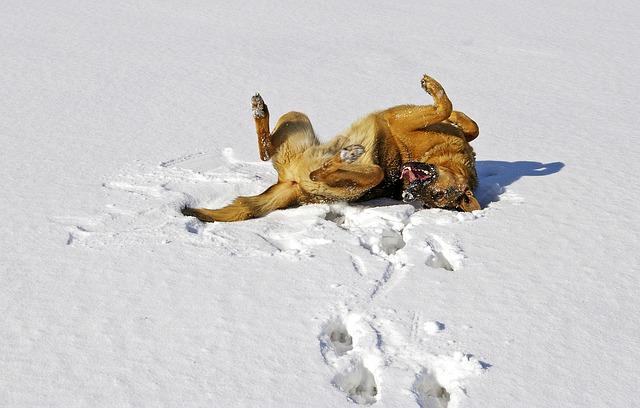 Chien se roule dans la neige