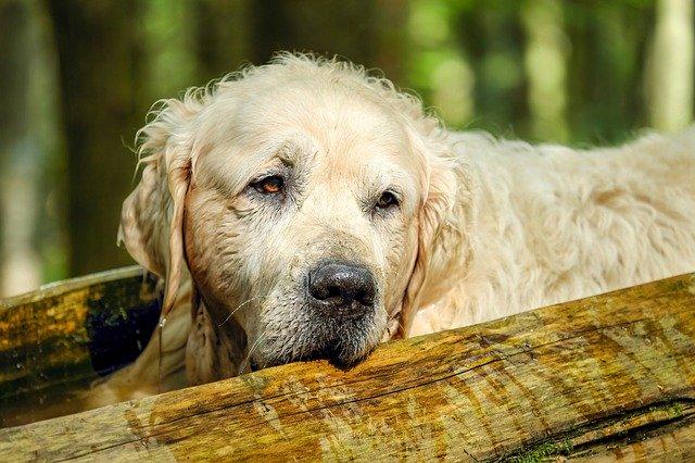 L'arthrose concerne fréquemment les chiens âgés