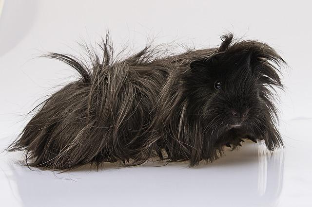 Cochon d'inde à poils longs
