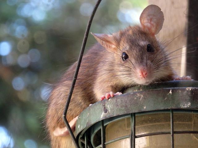 Le rat, un des principaux vecteurs de l'infection