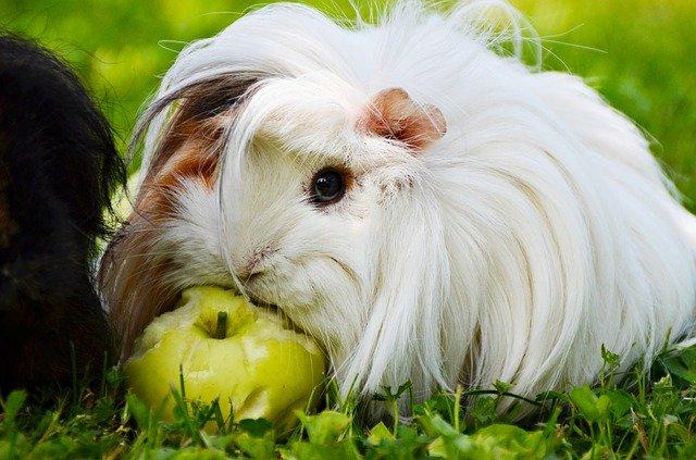 cochon d'inde qui mange une pomme